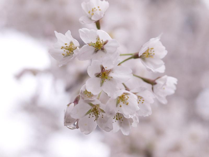 桜林公園の桜(弘前市)