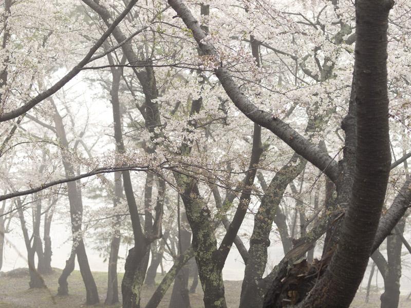 霧の桜林公園(弘前市)